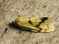 Agapeta hamana - Листовёртка золотистая (40424932695).jpg