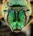 Agapostemon sericeus, F, Face, MD, PG County 2014-01-31-16.22.08 ZS PMax (12422042734).jpg