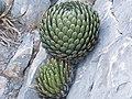 Agave victoriae-reginae (5664104304).jpg