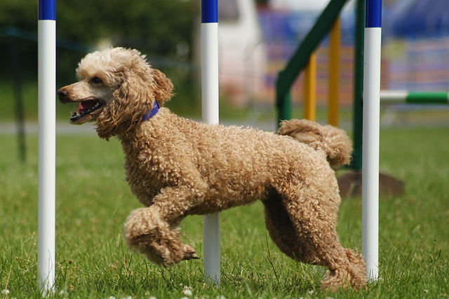 French Toy Poodle Dog Names