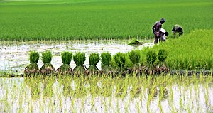 Agriculture in Bangladesh (02).jpg