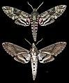Agrius cingulata MHNT CUT 2010 0 208 Itatiaia National Park Brazil male.jpg