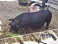 Agu Pig in Ueno Zoo.jpg