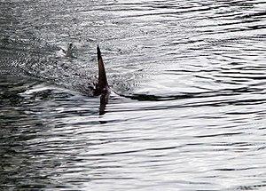Dorsal fin - Dorsal fin of a shark
