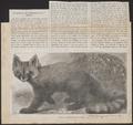 Ailurus fulgens - 1869 - Print - Iconographia Zoologica - Special Collections University of Amsterdam - UBA01 IZ22600209.tif