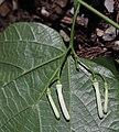 Alangium platanifolium var. trilobatum (bud s3).jpg