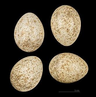 Lesser short-toed lark - Eggs of Alaudala rufescens minor MHNT