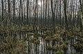 Alder carr 03(js), Biebrza National Park (Poland).jpg