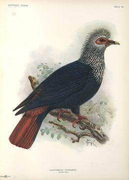 Alectroenas nitidissima-John Gerrard Keulemans