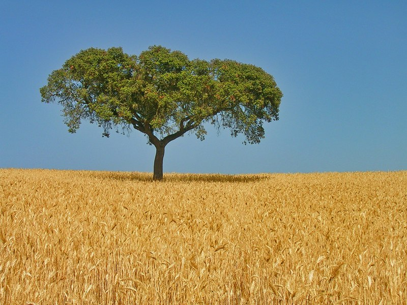 Alentejo oak on wheat field