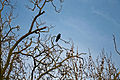 Alexandra Lake Wanstead Flats Redbridge London - crow in tree.jpg
