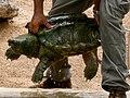 Alligator snapping turtle - Geierschildkröte - Alligatorschildkröte - Macrochelys temminckii 02.jpg
