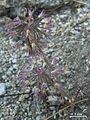 Allium campanulatum - Flickr - pellaea.jpg