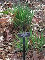 Allium cepa Phipps.JPG