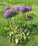 Allium hollandicum.jpg