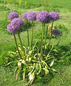 Allium for Significado de ornamental wikipedia