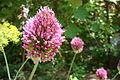Allium sphaerocephalon Y007.jpg