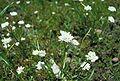 Alliumfibrillum1.jpg