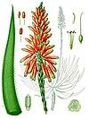 Aloe succotrina - Köhler–s Medizinal-Pflanzen-007.jpg