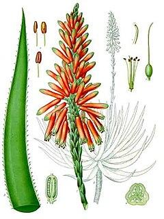 <i>Aloe</i> genus of plants