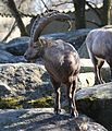 Alpensteinbock Capra ibex ibex Tierpark Hellabrunn-11.jpg