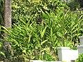 Alpinia nutans (Maria Serena).jpg