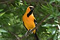 Altamira Oriole (male) National Butterfly Center Mission TX 2018-03-19 13-42-54 (26037396507).jpg