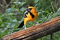 Altamira Oriole National Butterfly Center Mission TX 2018-03-01 16-19-08 (25792504947).jpg