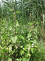 Althaea officinalis sl67.jpg