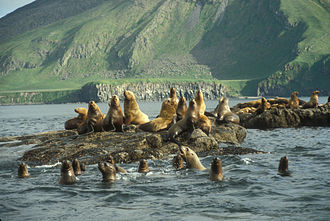 Amak Island - Amak Island, Steller sea lion haul out