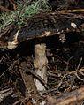 Amanita nothofagi 62463.jpg