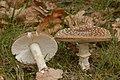 Amanita pantherina (30052215166).jpg
