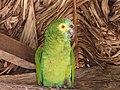 Amazona aestiva -Puerto Suarez, Bolivia-8.jpg