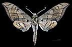 Ambulyx johnsoni MHNT CUT 2010 0 130 Philippines male dorsal.jpg