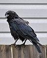 American Crow (Corvus brachyrhynchos) - St. John's, Newfoundland 2019-08-09 (02).jpg