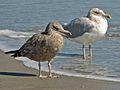 American Herring Gull (Larus smithsonianus) RWD3.jpg