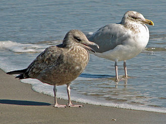 American herring gull - Juvenile and adult in North Carolina