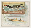 American Oyster Catcher, from the Game Birds series (N40) for Allen & Ginter Cigarettes MET DP839132.jpg