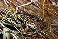Americanfrog.jpg