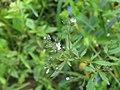 Amethystea caerulea 49118070.jpg