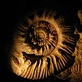Ammonite Fossil (6211284291).jpg