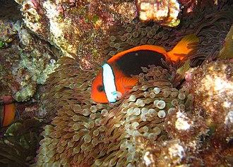 Cinnamon clownfish - A. melanopus in Entacmaea quadricolor