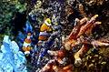 Amphiprion percula Sea aquarium Malta 2014 1.jpg