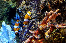Amphiprion percula Sea aquarium Malta 2014 1.jpg