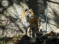 Amur tiger cheyenne mountain zoo.JPG