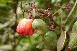 <i>Anacardium</i> genus of plants