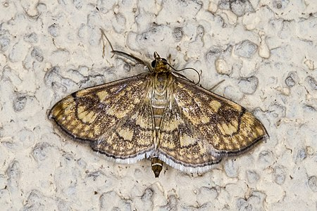 Anania verbascalis01(js), Lodz(Poland).jpg