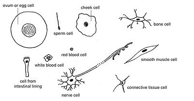 Animal Cells Images a Variety of Animal Cells
