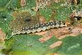 Ancylis mitterbacheriana larva.jpg