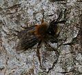 Andrena (Andrena) clarkella - male - Flickr - S. Rae (1).jpg
